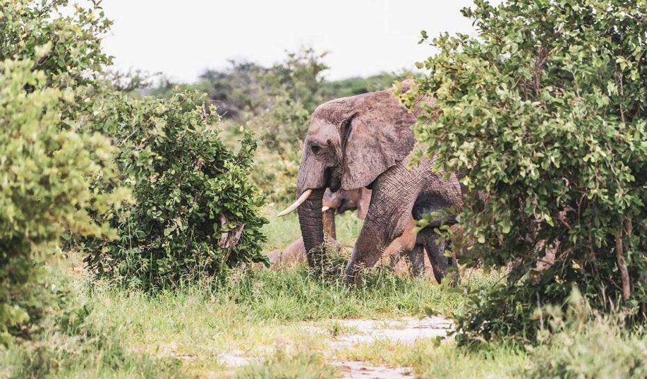 Kontroverzní lákadlo pro turisty. Zimbabwe nabízí odstřel ohrožených slonů