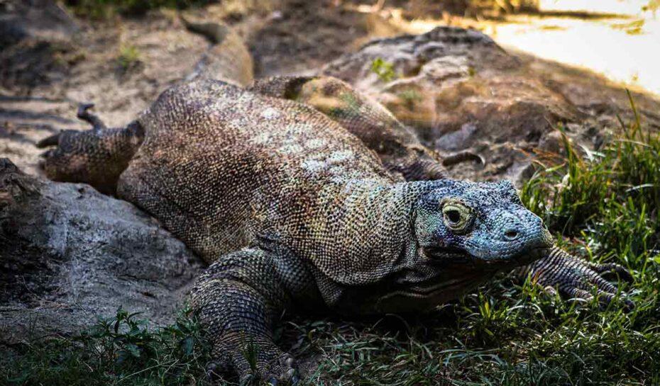 Indonéský Jurský park čelí kritice. Může ohrozit komodské draky